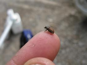 A mountain pine beetle in the Okanagan.
